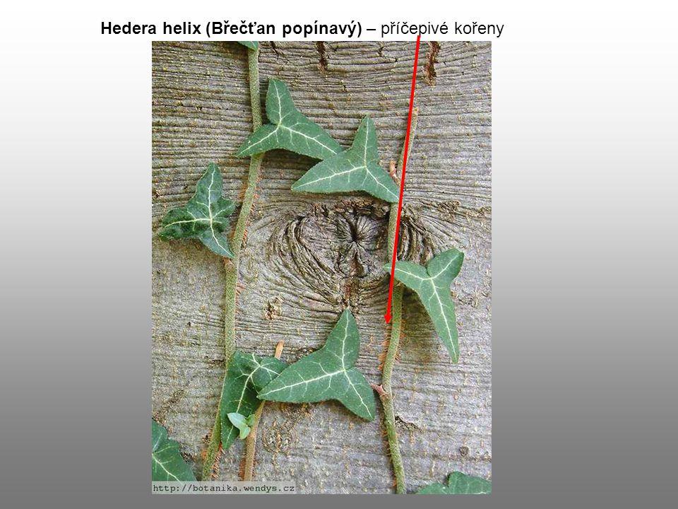 Hedera helix (Břečťan popínavý) – příčepivé kořeny