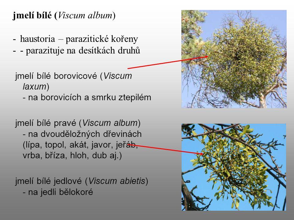 jmelí bílé (Viscum album) haustoria – parazitické kořeny