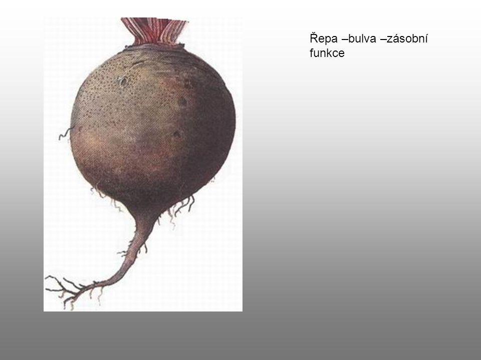 Řepa –bulva –zásobní funkce