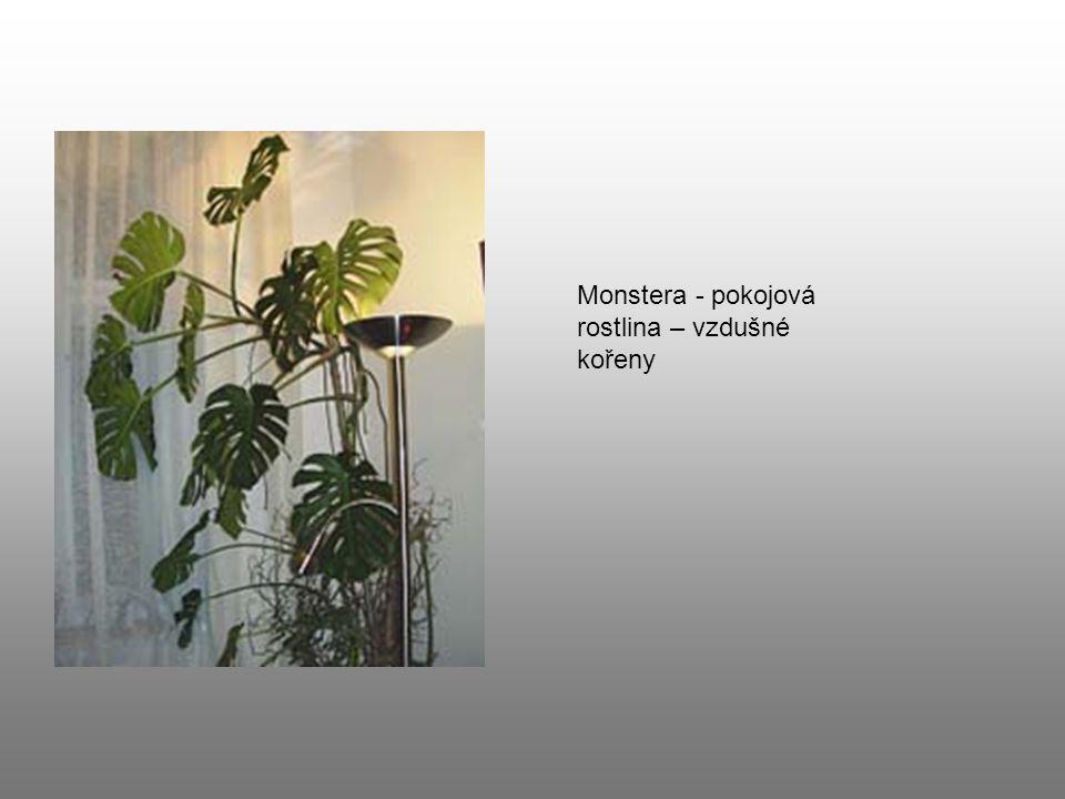 Monstera - pokojová rostlina – vzdušné kořeny