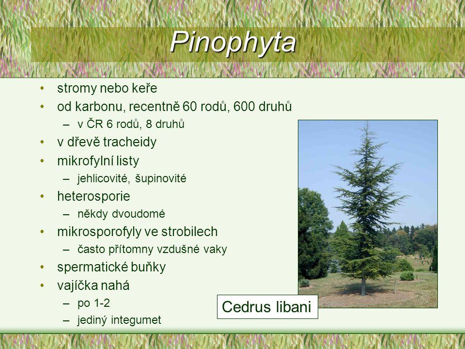 Pinophyta Cedrus libani stromy nebo keře
