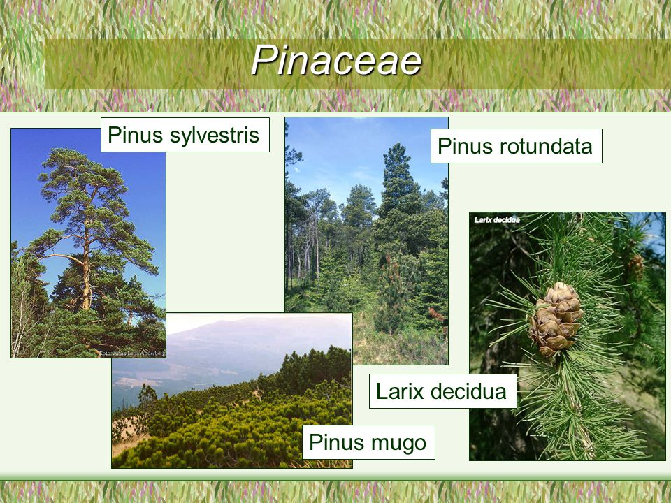 Pinaceae Pinus sylvestris Pinus rotundata Larix decidua Pinus mugo