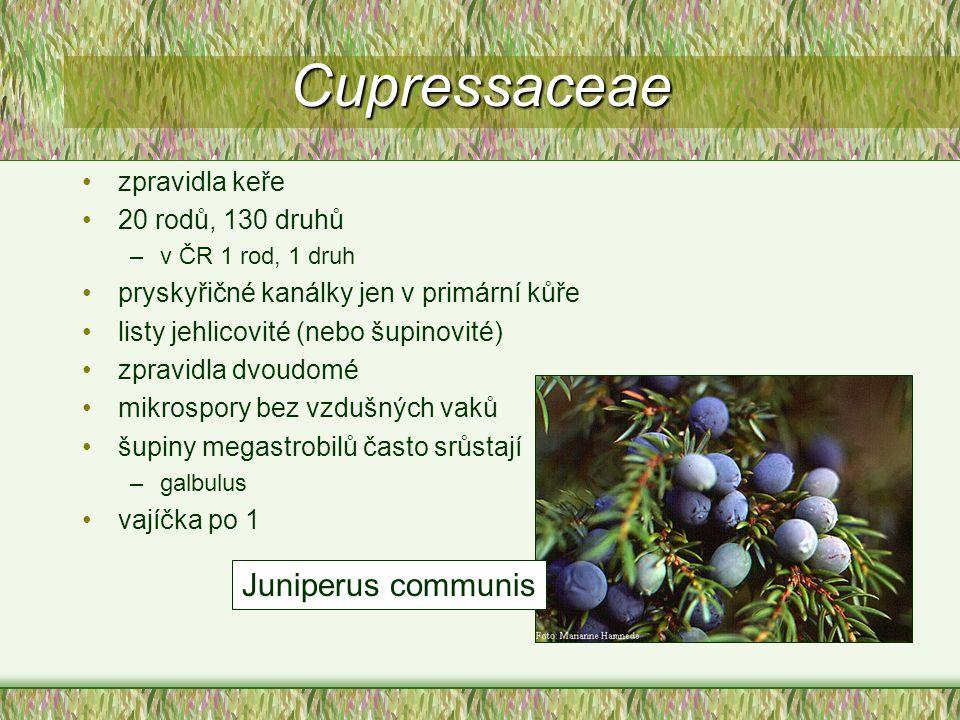 Cupressaceae Juniperus communis zpravidla keře 20 rodů, 130 druhů