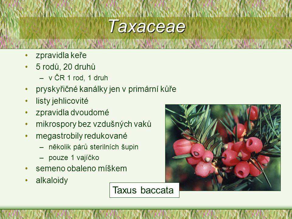 Taxaceae Taxus baccata zpravidla keře 5 rodů, 20 druhů