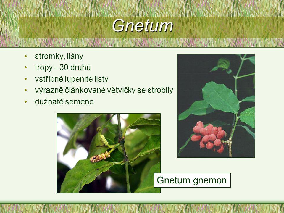 Gnetum Gnetum gnemon stromky, liány tropy - 30 druhů
