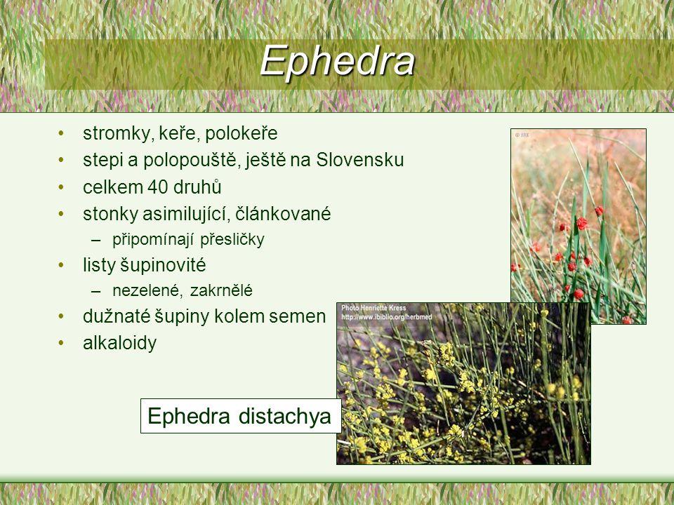 Ephedra Ephedra distachya stromky, keře, polokeře