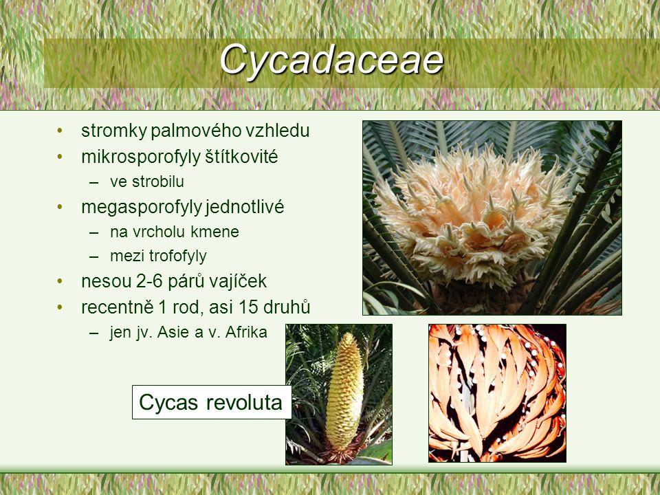 Cycadaceae Cycas revoluta stromky palmového vzhledu