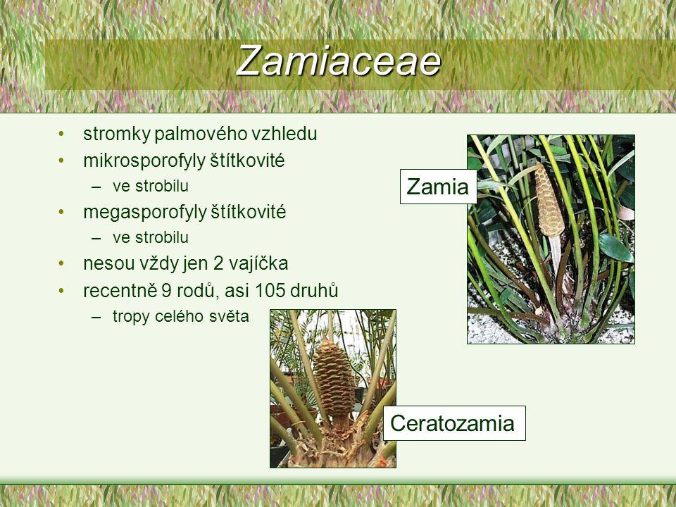 Zamiaceae Zamia Ceratozamia stromky palmového vzhledu