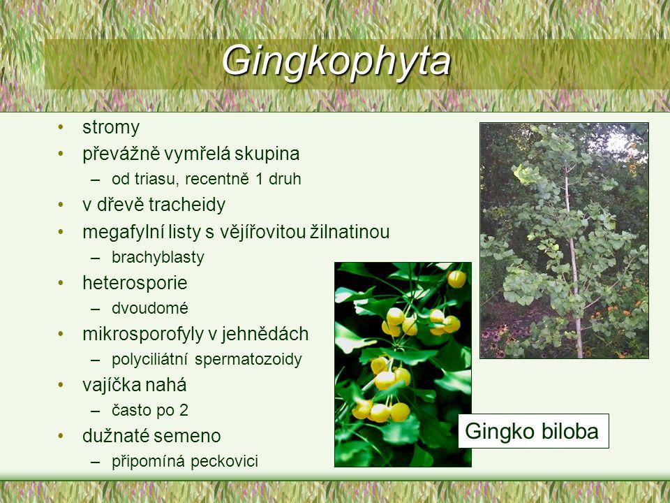 Gingkophyta Gingko biloba stromy převážně vymřelá skupina