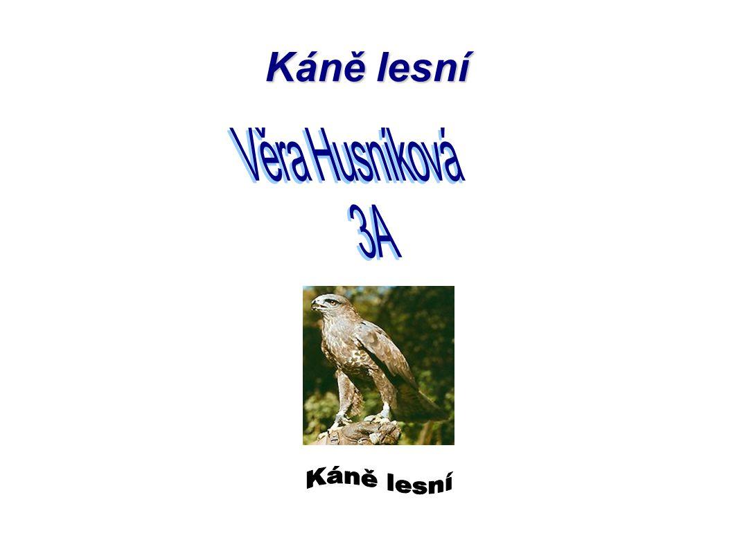 Káně lesní Věra Husníková 3A Káně lesní