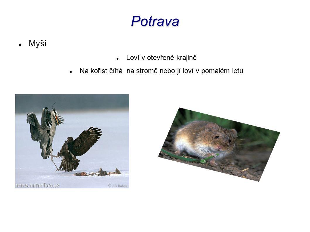 Potrava Myši Loví v otevřené krajině