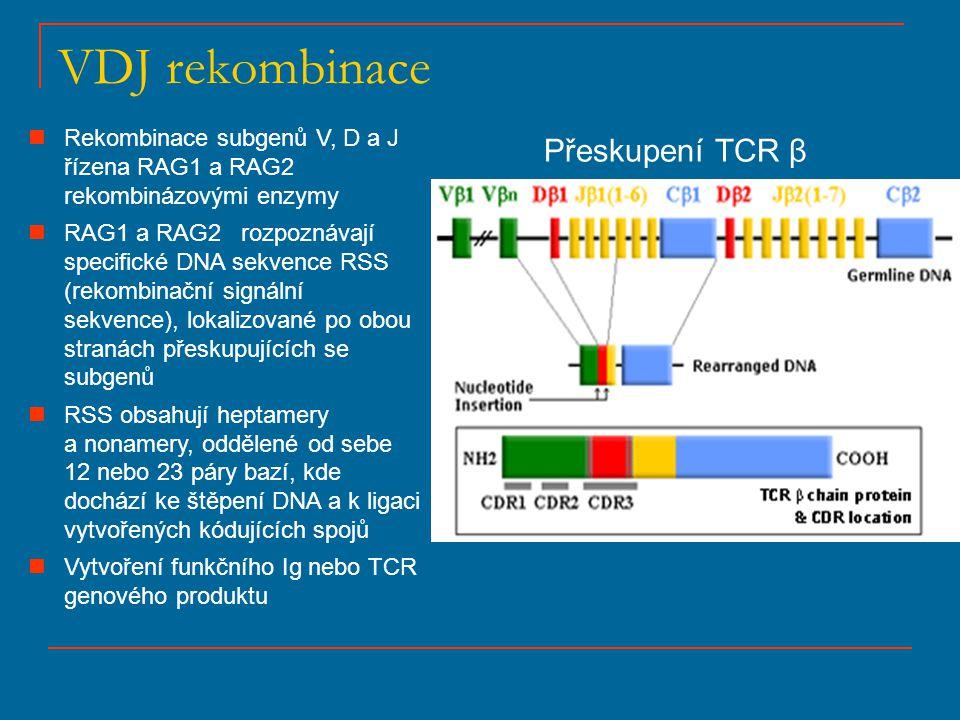 VDJ rekombinace Přeskupení TCR β