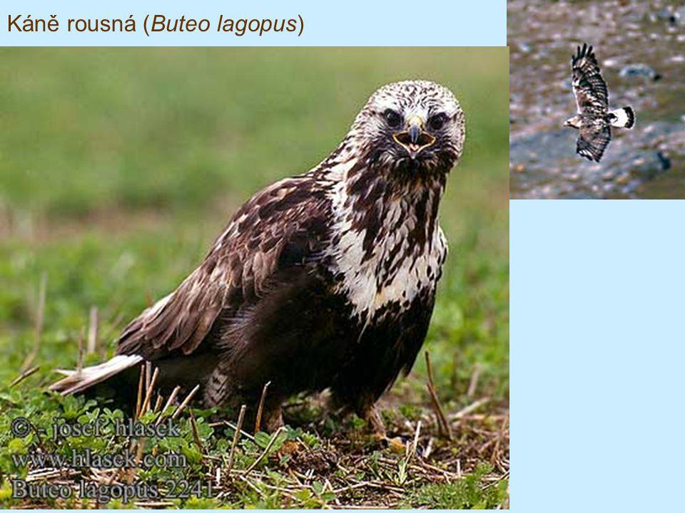 Káně rousná (Buteo lagopus)