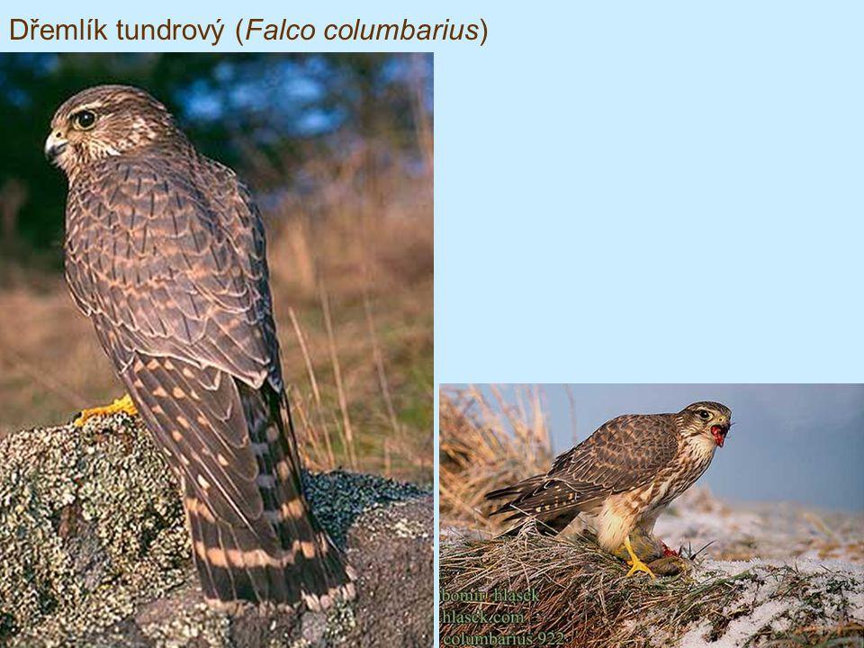 Dřemlík tundrový (Falco columbarius)