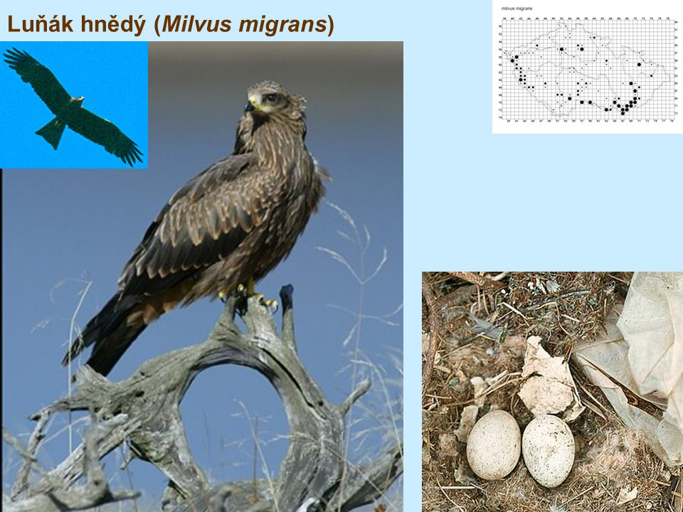 Luňák hnědý (Milvus migrans)