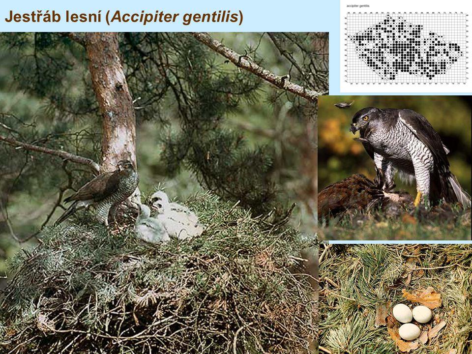 Jestřáb lesní (Accipiter gentilis)