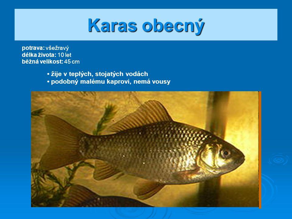 Karas obecný • žije v teplých, stojatých vodách