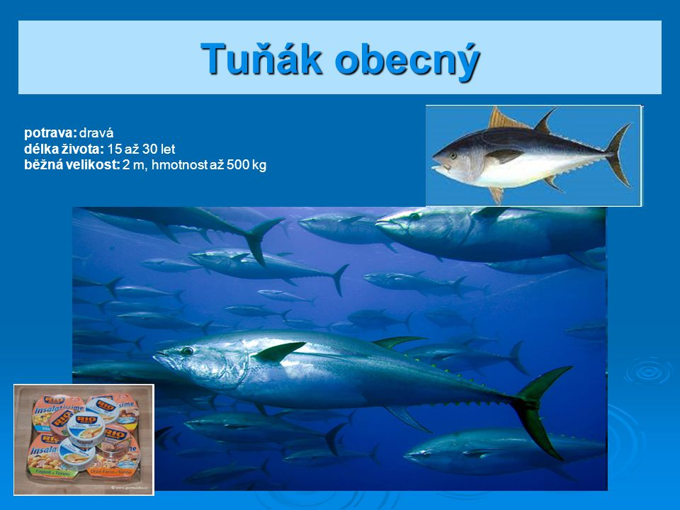 Tuňák obecný potrava: dravá délka života: 15 až 30 let