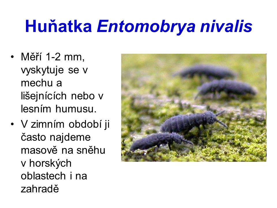 Huňatka Entomobrya nivalis