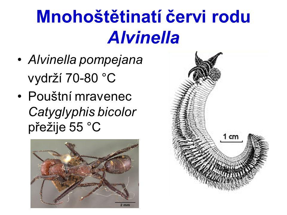 Mnohoštětinatí červi rodu Alvinella
