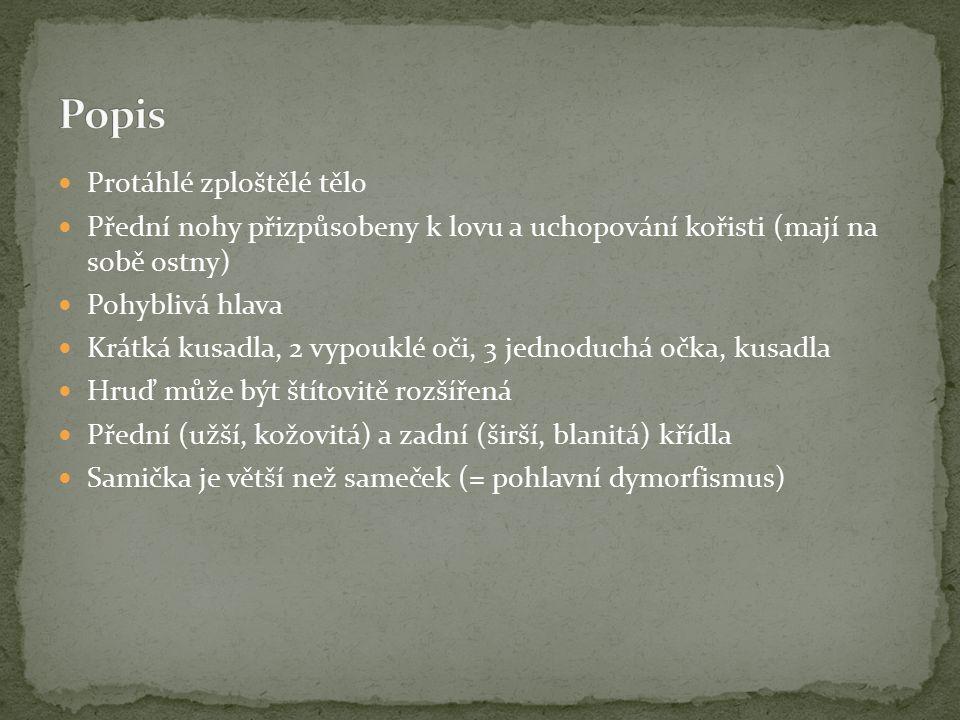 Popis Protáhlé zploštělé tělo