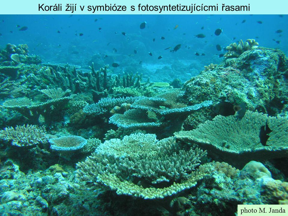 Koráli žijí v symbióze s fotosyntetizujícícmi řasami