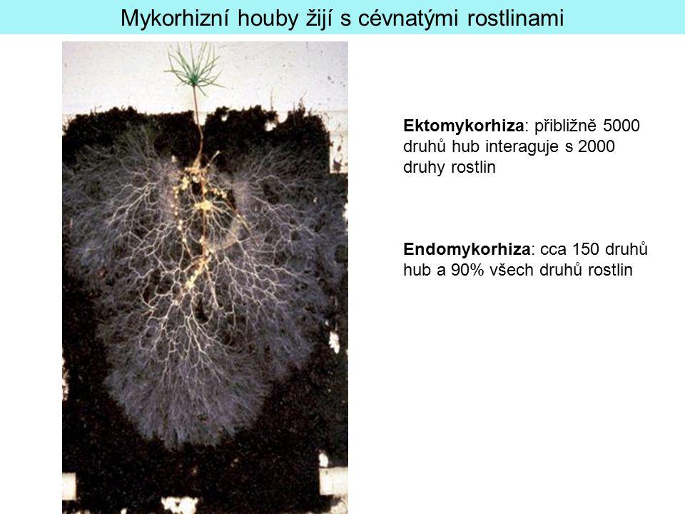 Mykorhizní houby žijí s cévnatými rostlinami