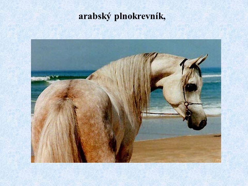 arabský plnokrevník,