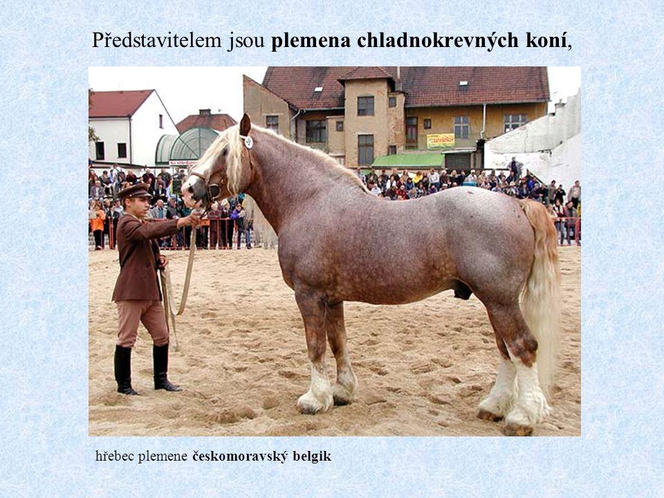 Představitelem jsou plemena chladnokrevných koní,