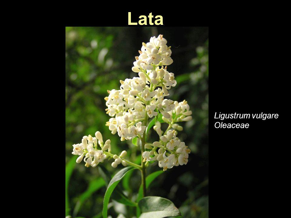 Lata Ligustrum vulgare Oleaceae