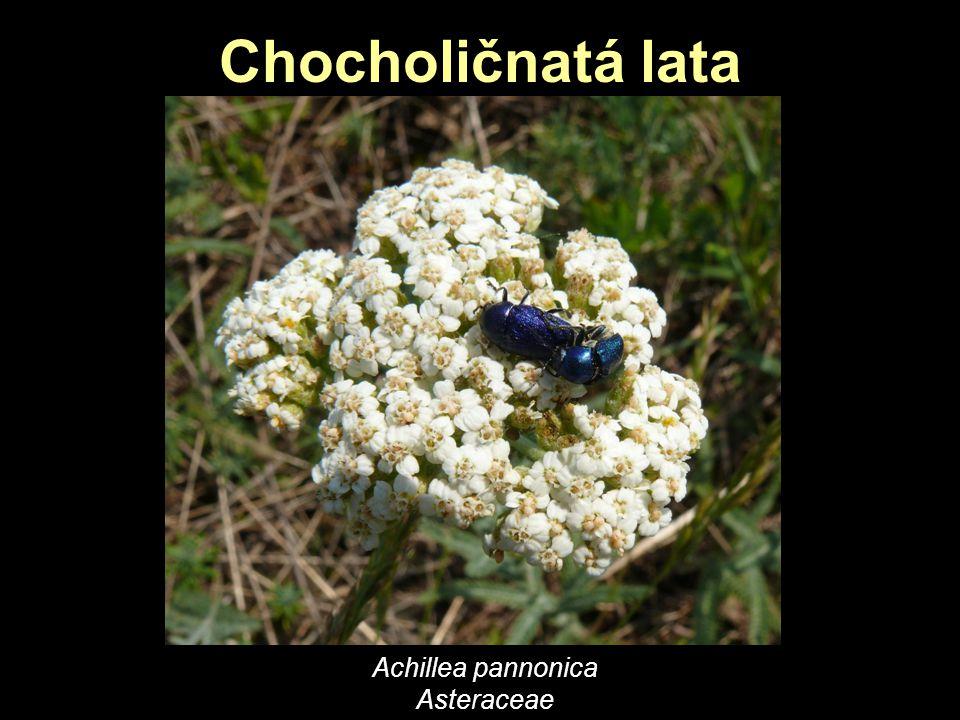 Achillea pannonica Asteraceae