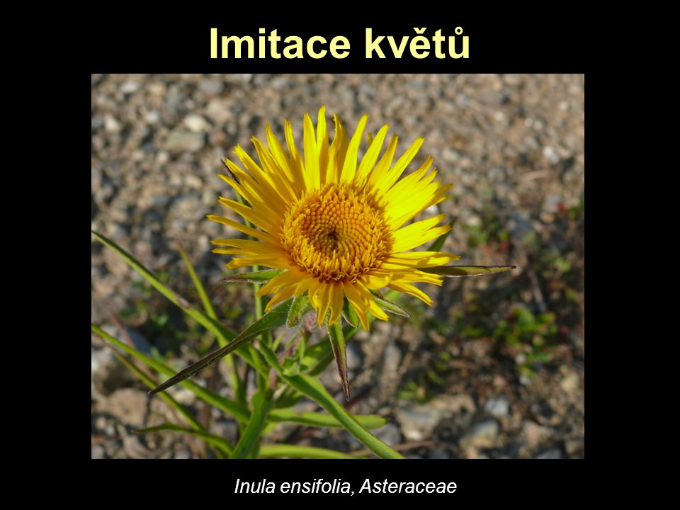 Imitace květů Inula ensifolia, Asteraceae