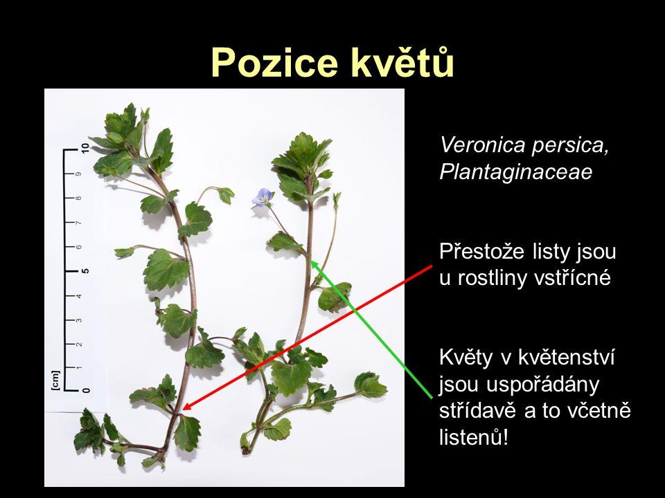 Pozice květů Veronica persica, Plantaginaceae