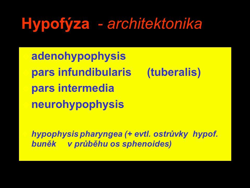Hypofýza - architektonika
