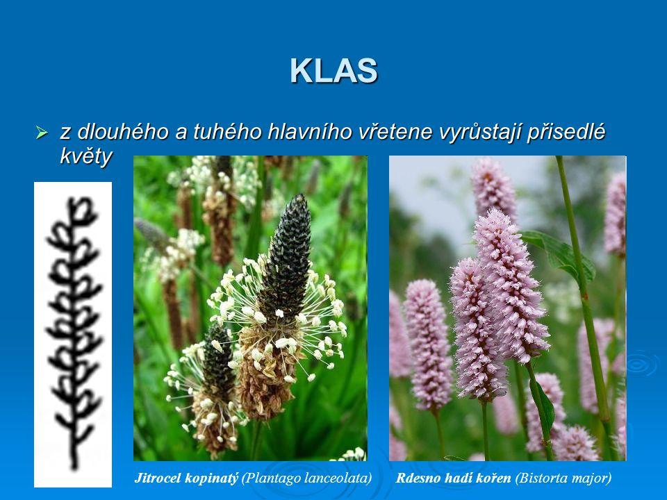 KLAS z dlouhého a tuhého hlavního vřetene vyrůstají přisedlé květy
