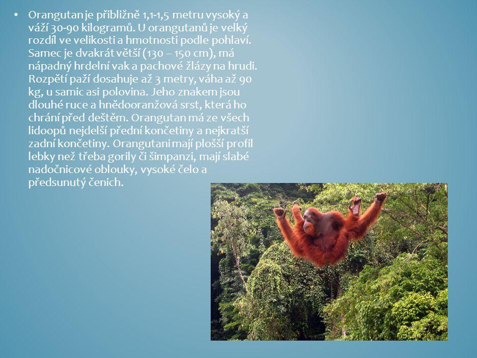 Orangutan je přibližně 1,1-1,5 metru vysoký a váží 30-90 kilogramů