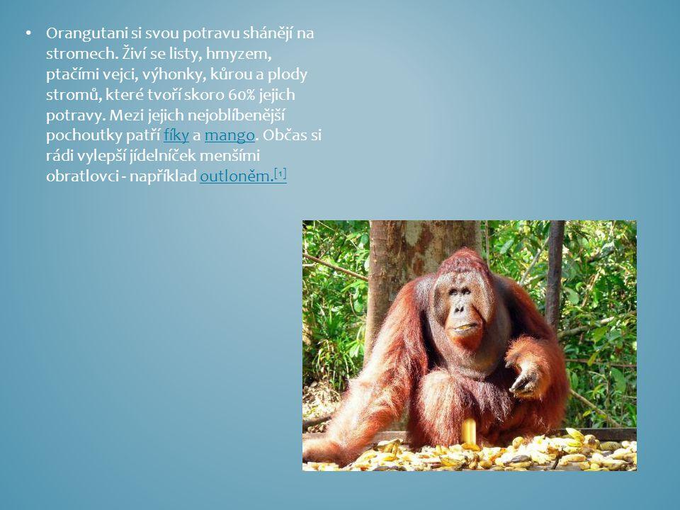 Orangutani si svou potravu shánějí na stromech