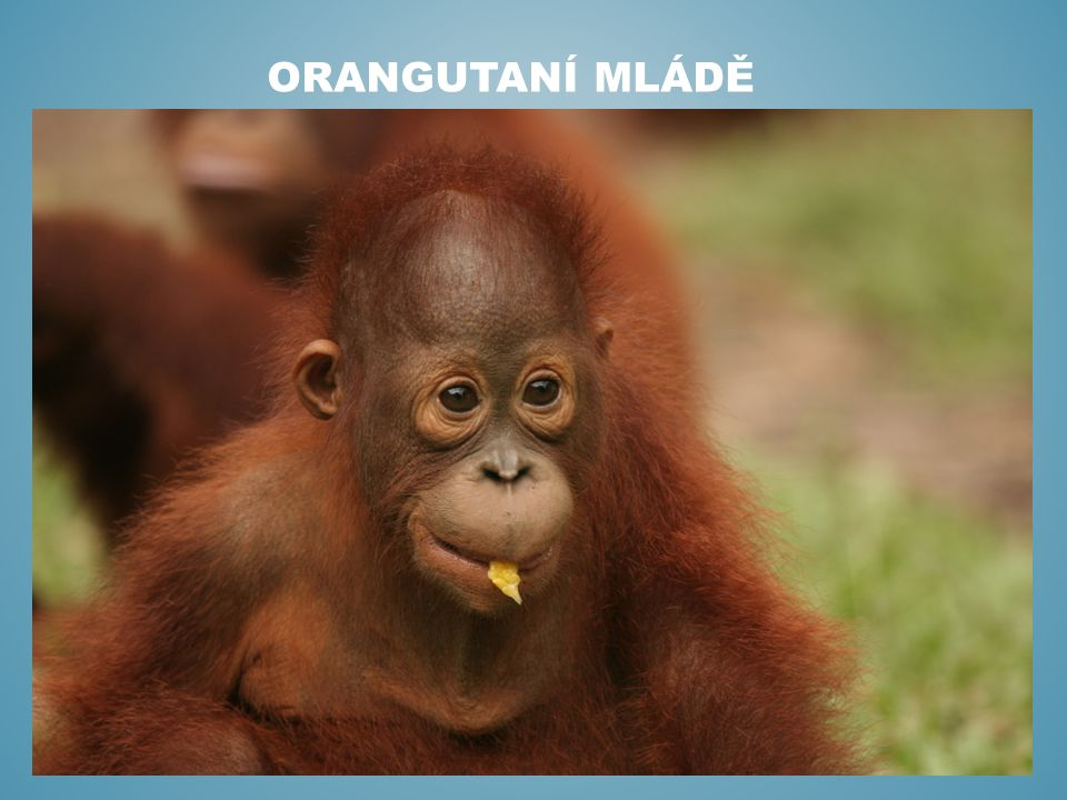 Orangutaní mládě