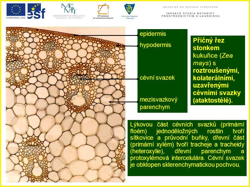 epidermis hypodermis. cévní svazek. mezisvazkový parenchym.