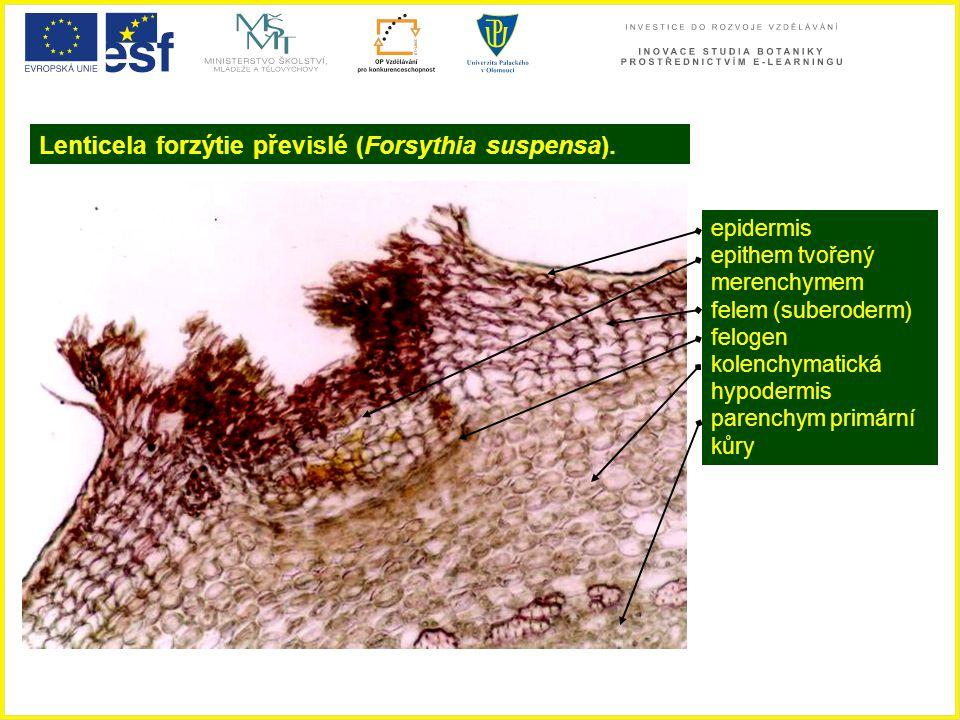 Lenticela forzýtie převislé (Forsythia suspensa).