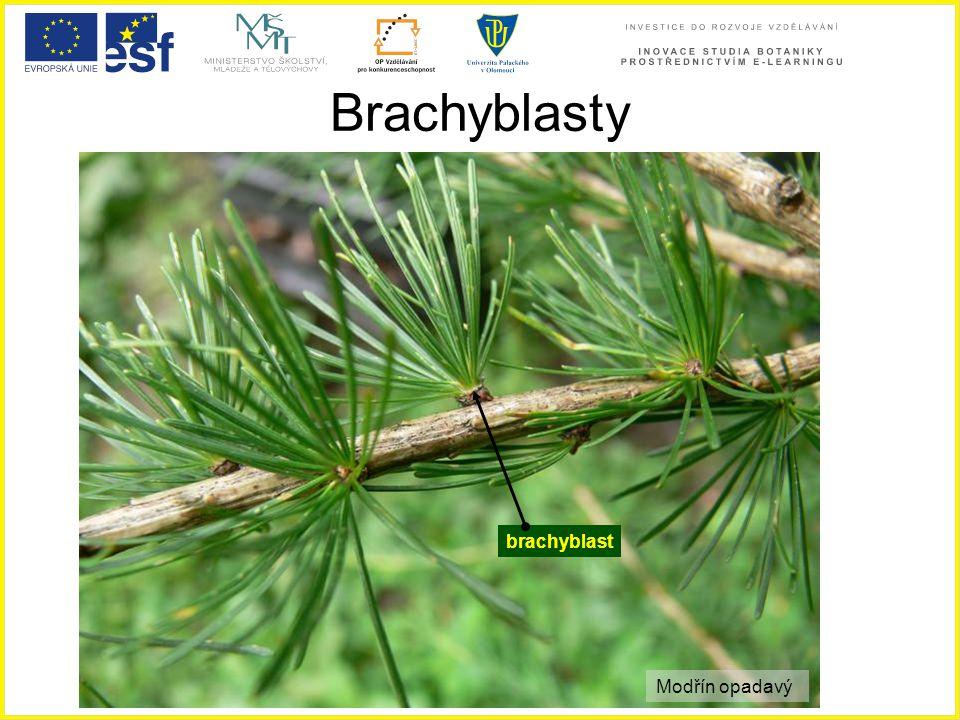 Brachyblasty brachyblast Modřín opadavý