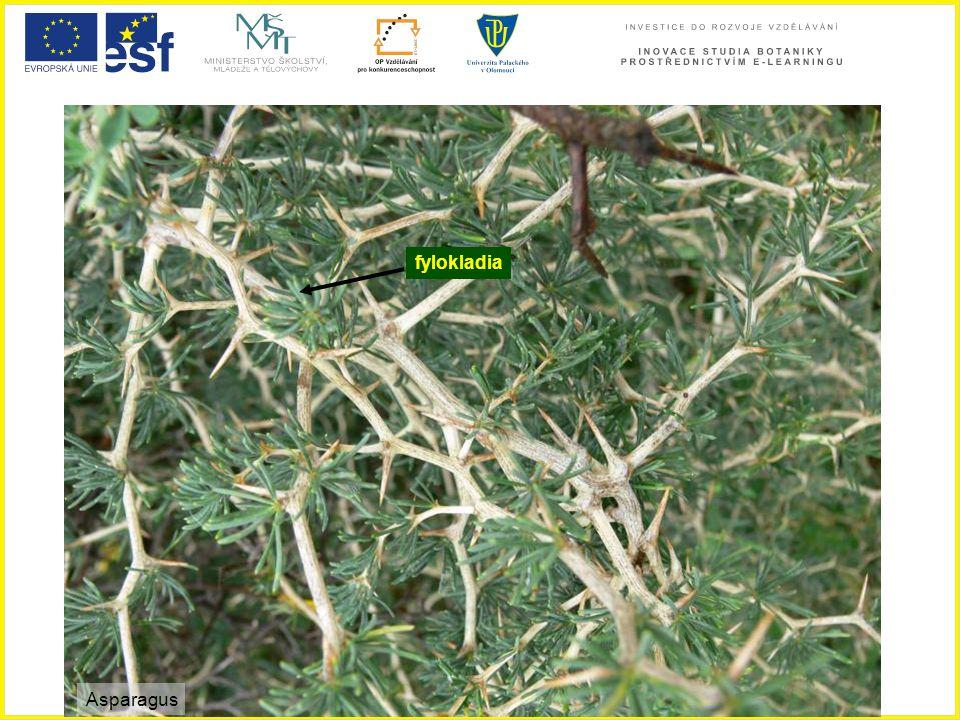 fylokladia Asparagus