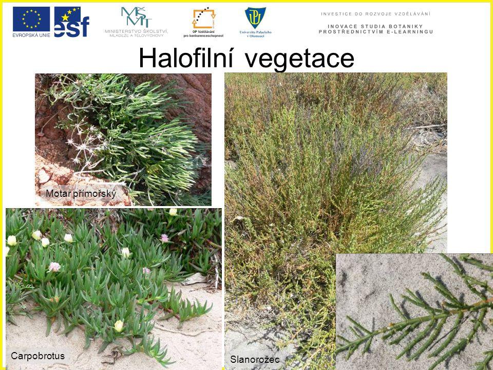 Halofilní vegetace Motar přímořský Carpobrotus Carpobrotus Slanorožec