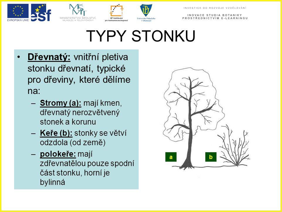 TYPY STONKU Dřevnatý: vnitřní pletiva stonku dřevnatí, typické pro dřeviny, které dělíme na: