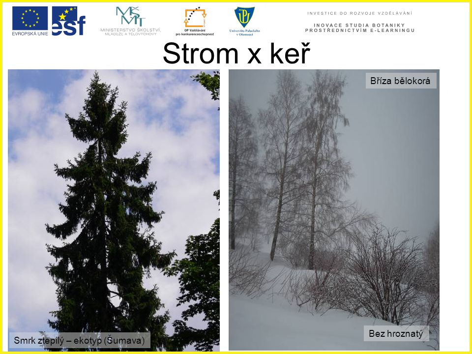 Strom x keř Bříza bělokorá Bez hroznatý Smrk ztepilý – ekotyp (Šumava)