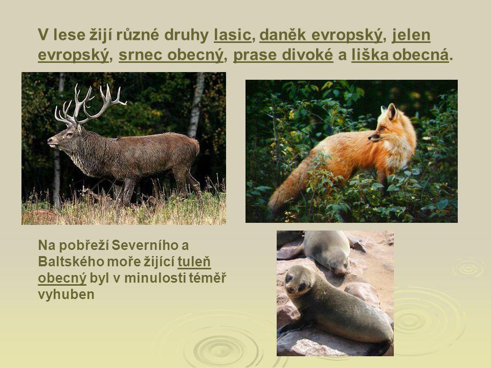 V lese žijí různé druhy lasic, daněk evropský, jelen evropský, srnec obecný, prase divoké a liška obecná.