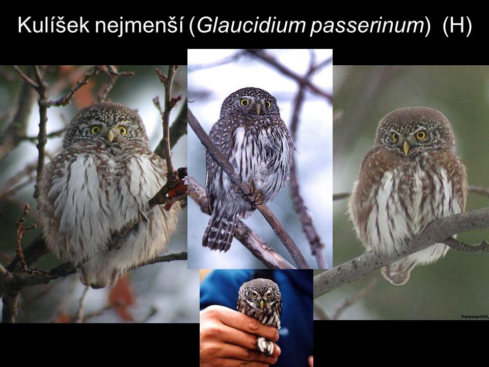 Kulíšek nejmenší (Glaucidium passerinum) (H)