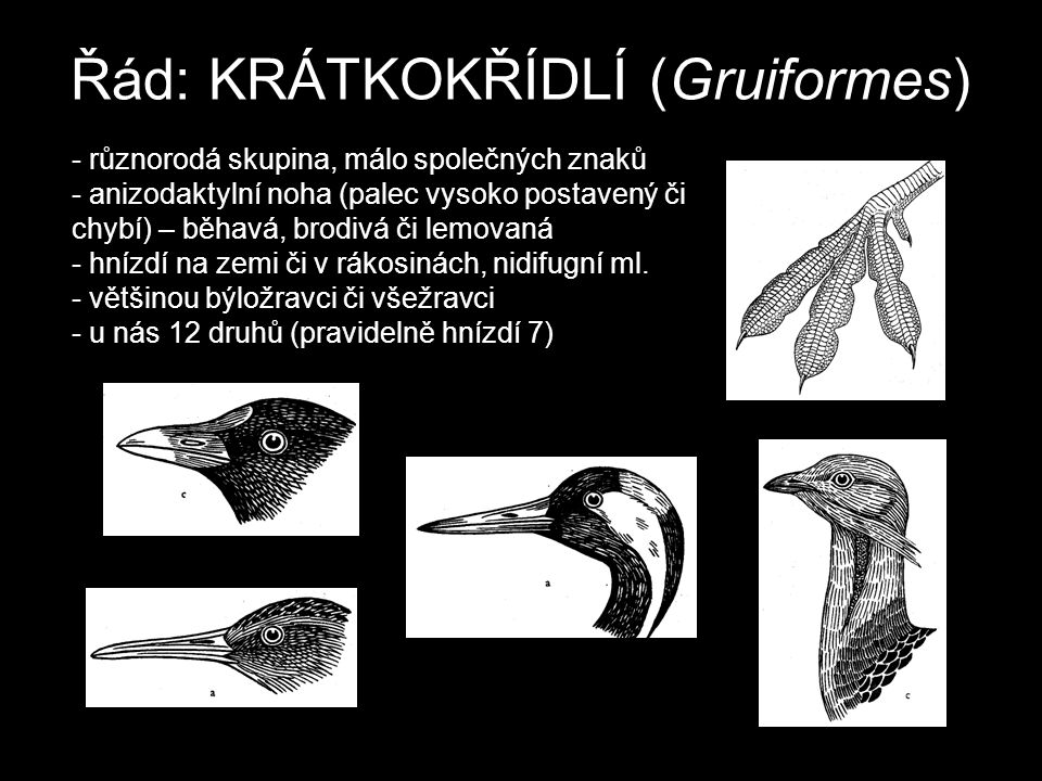 Řád: KRÁTKOKŘÍDLÍ (Gruiformes)
