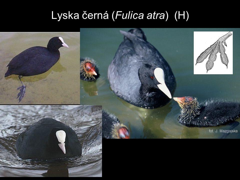 Lyska černá (Fulica atra) (H)