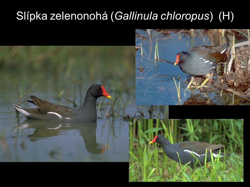 Slípka zelenonohá (Gallinula chloropus) (H)